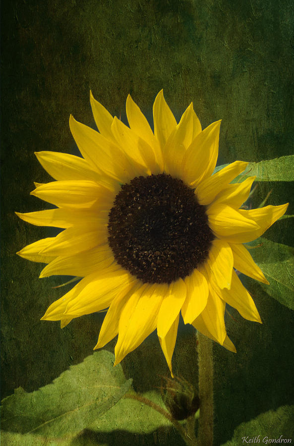 Sunflower Photograph - Sunflower Beauty by Keith Gondron