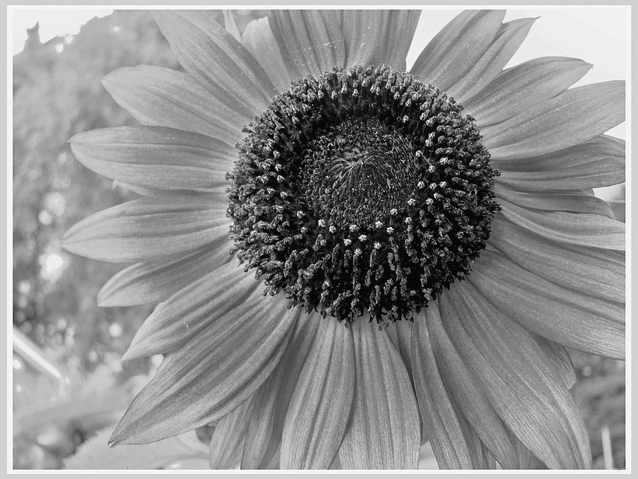 Sunflower photograph sunflower black and white by miss dawn