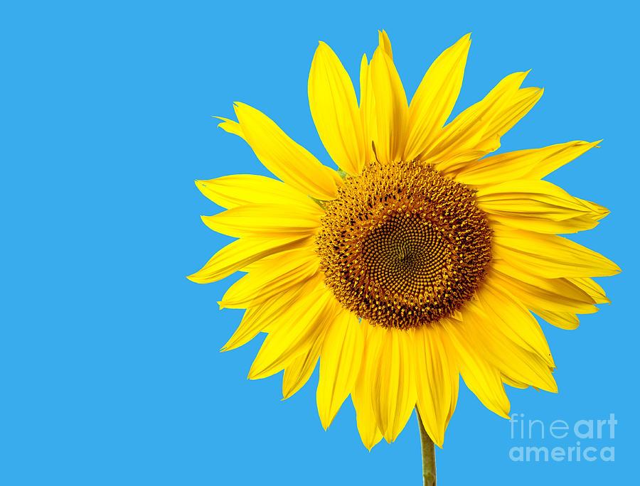 Bloom Photograph - Sunflower Blue Sky by Edward Fielding