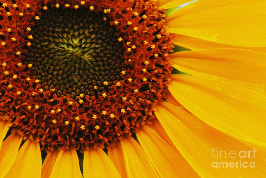 Sunflower Photograph - Joy Of The Sunflower by Bob Christopher