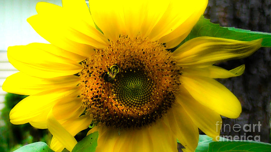 Sunflower Photograph - Sunflower by Brittany Perez