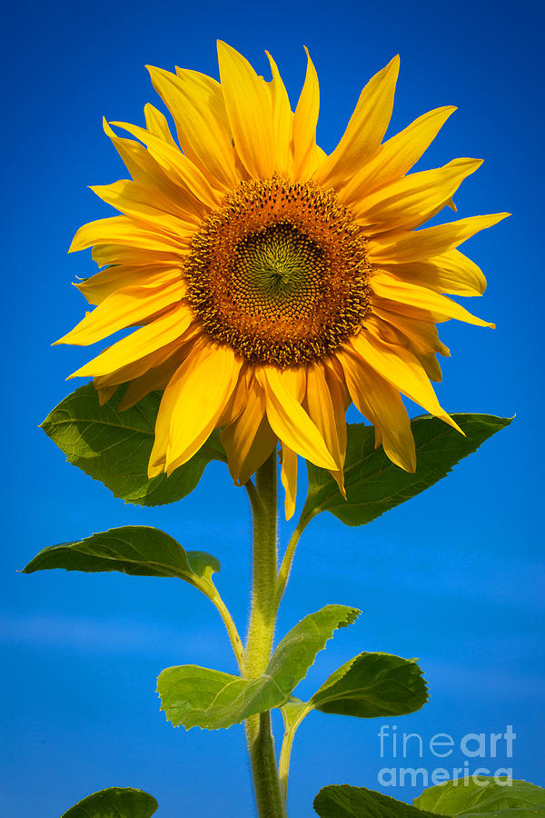 Outdoor Photograph - Sunflower by Carsten Reisinger