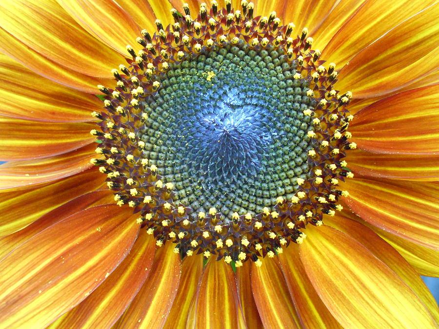 Sunflower Photograph - Sunflower Center by Kevin J Cooper Artwork