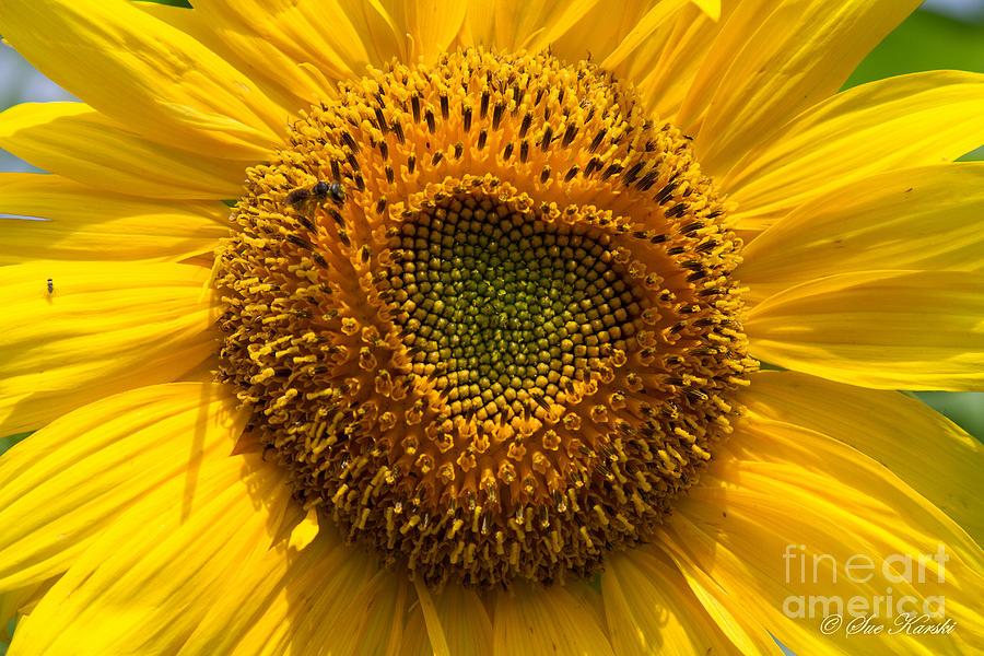 Sunflower Closeup by Sue Karski