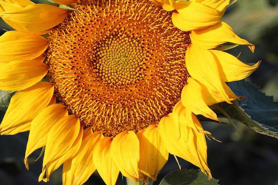 Sunflower - Closeup by Susan Schroeder