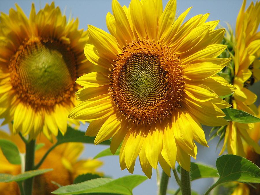 Sunflower Closeup by Tammie Miller