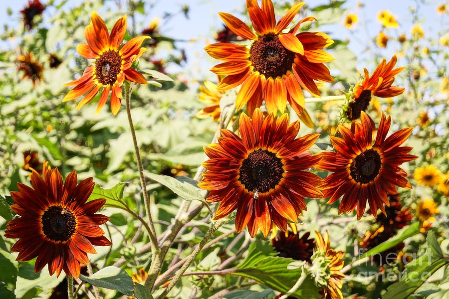 Agriculture Photograph - Sunflower Cluster by Kerri Mortenson