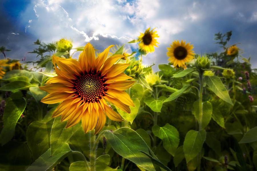 Clouds Photograph - Sunflower Dream by Debra and Dave Vanderlaan