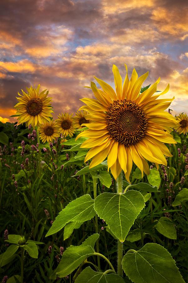 Clouds Photograph - Sunflower Dusk by Debra and Dave Vanderlaan