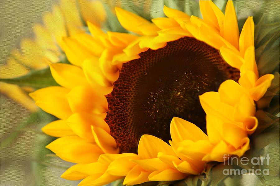 Sunflower by Eden Baed