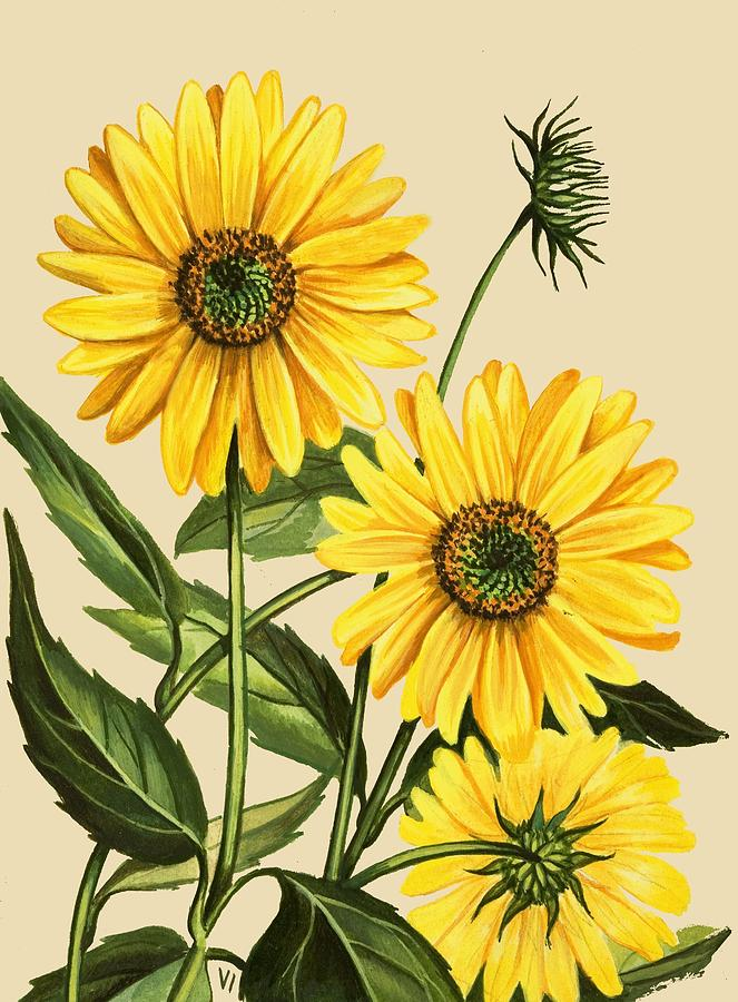 Sunflower Drawing By English School