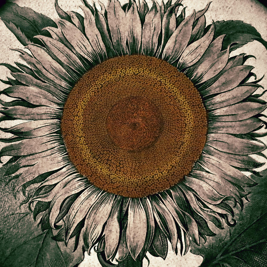Sunflower Photograph - Sunflower - Face To The Sunshine by Patricia Januszkiewicz