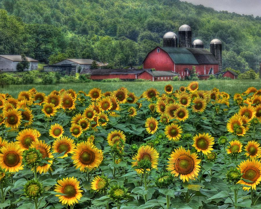 Resultado de imagen de sunflowers farm