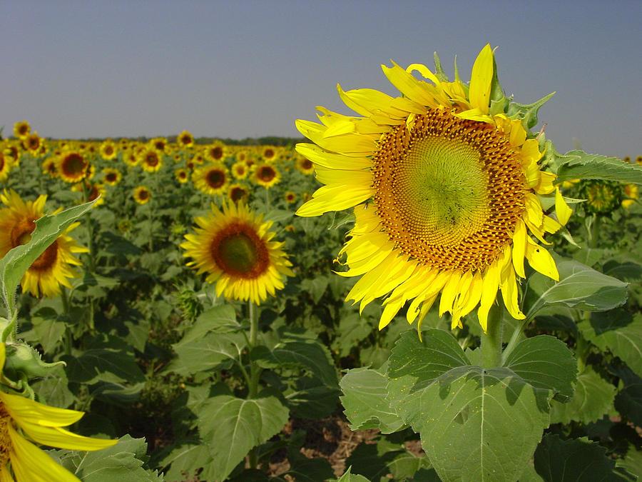 Sunflower Photograph - Sunflower Field 1 by Maxwell Amaro
