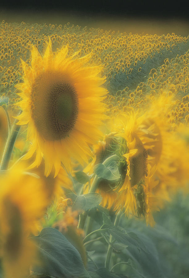 Helianthus Annuus Photograph - Sunflower Field by David Nunuk/science Photo Library