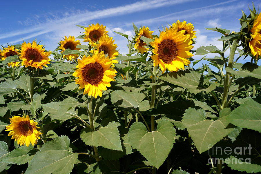 Agriculture Photograph - Sunflower Field by Kerri Mortenson