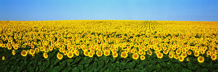 Color Image Photograph - Sunflower Field, North Dakota, Usa by Panoramic Images