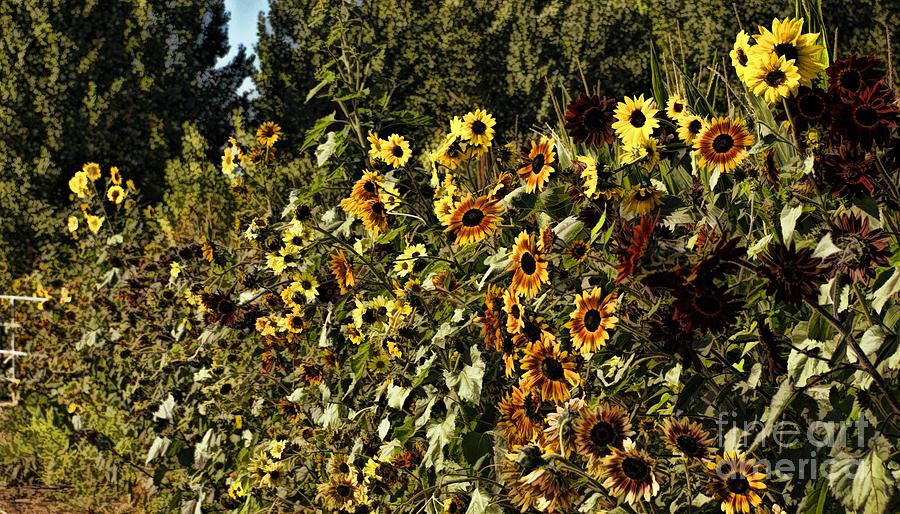 Sunflower Photograph - Sunflower Fields Forever by Peggy Hughes