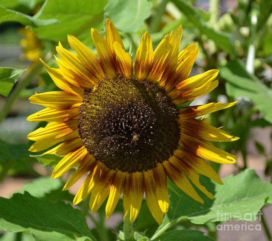 Logo Design Photograph - Sunflower Glory by Luther Fine Art