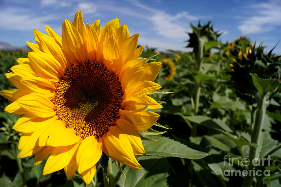 Agriculture Photograph - Sunflower Glow by Kerri Mortenson