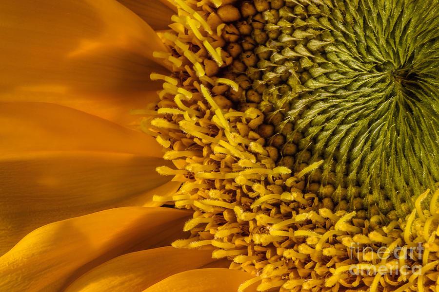 Flower Photograph - Sunflower Grace by Madonna Martin