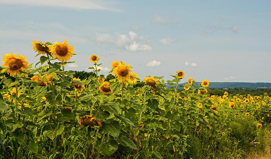 Sunflower Photograph - Sunflower Greetings by Nancy De Flon