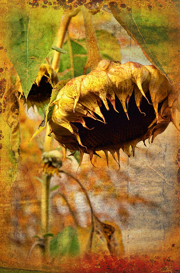 Sunflower Photograph - Sunflower by Gynt