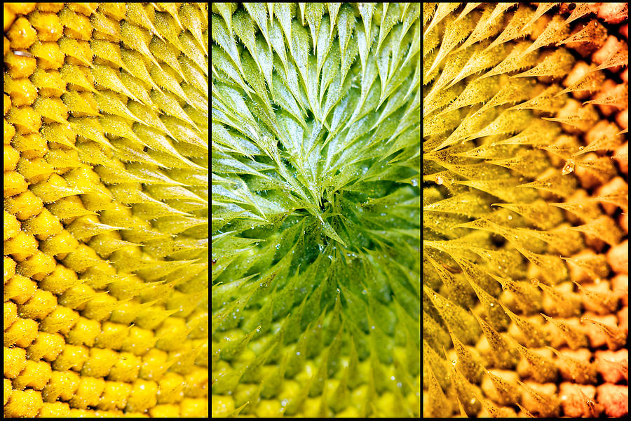 Triptych Photograph - Sunflower Heart Triptych by Lisa Knechtel