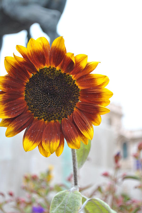 Sunflower Photograph - Sunflower In Balboa Park by Misty Stach