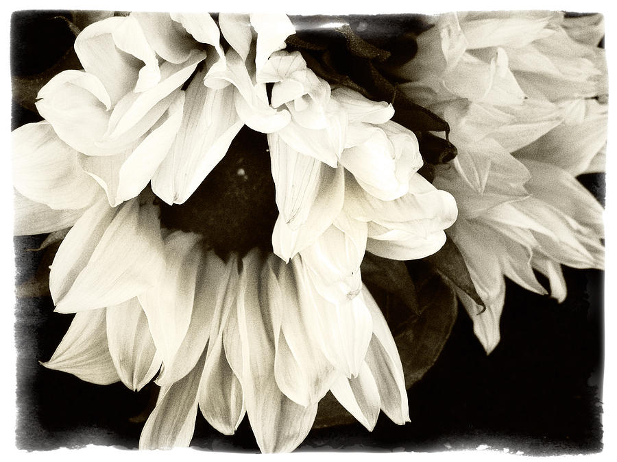 Sunflower Photograph - Sunflower In Black And White 1 by Tanya Jacobson-Smith