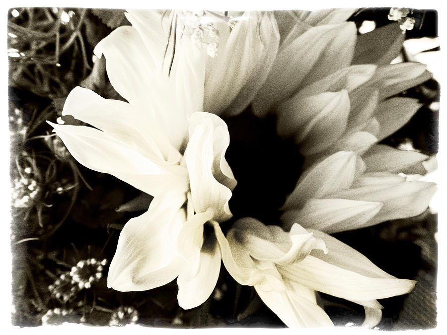 Sunflower Photograph - Sunflower In Black And White 3 by Tanya Jacobson-Smith