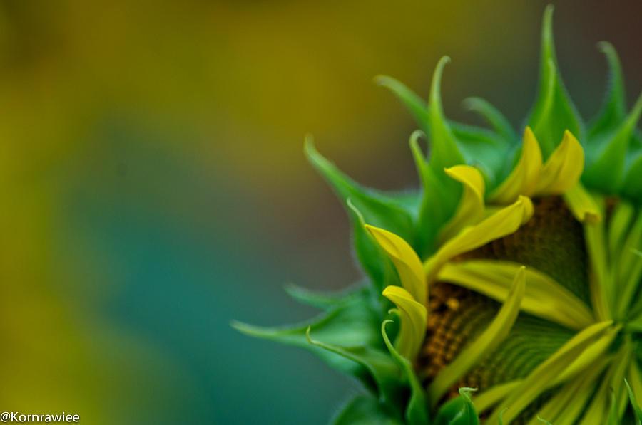 Sunflower Photograph - Sunflower In Dream by Kornrawiee Miu Miu