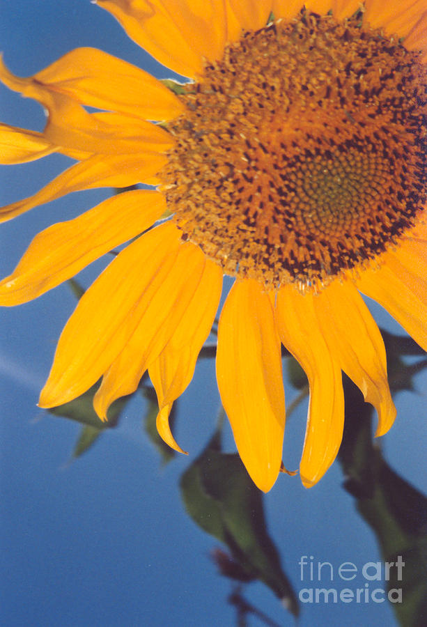 Flower Photograph - Sunflower In The Corner by Heather Kirk