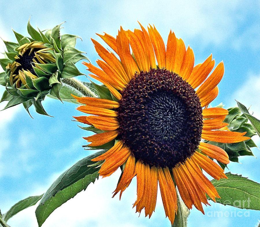 Sunflower Photograph - Sunflower In The Sky by Annette Allman