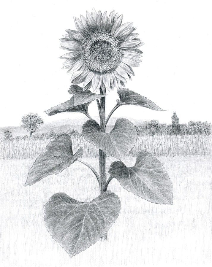 Sunflower In Umbria Drawing By Diane Cardaci