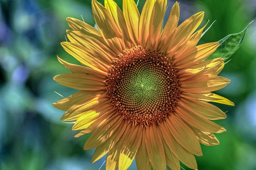 Norfolk Botanical Garden Photograph - Sunflower by Jerry Gammon