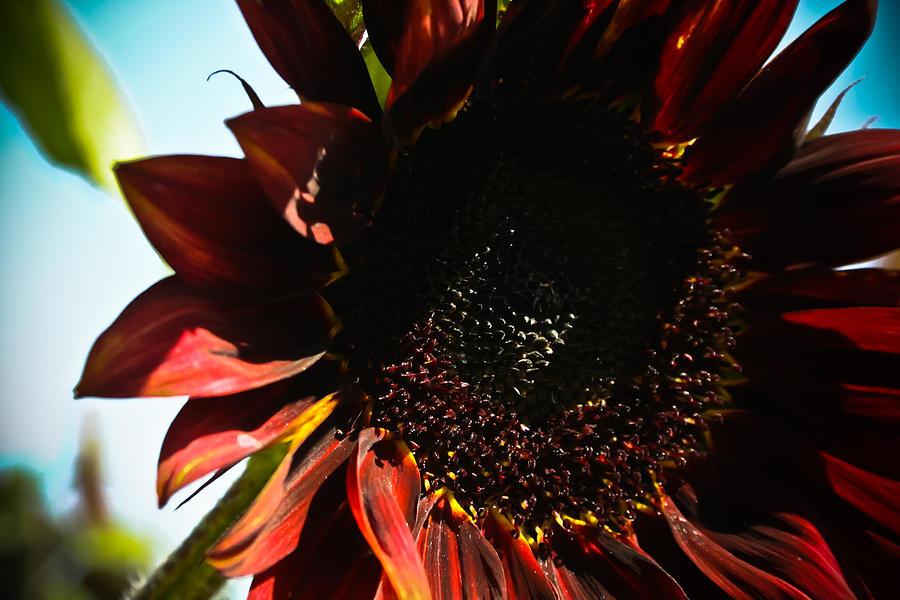 Mexican Photograph - Sunflower by Joel Loftus