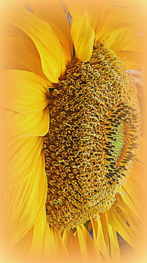 Macro Photograph - Sunflower by Kay Novy