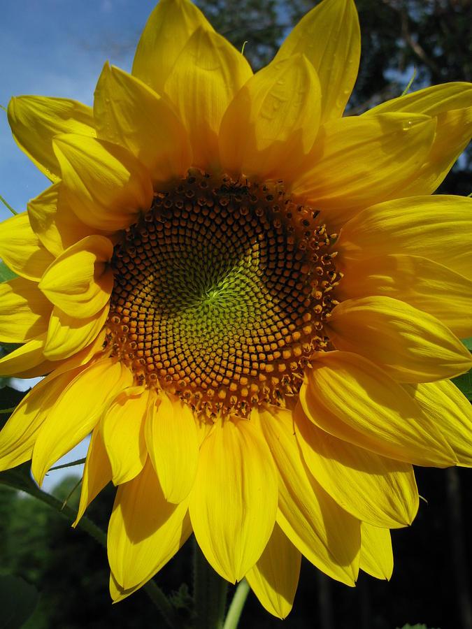 Sunflower Photograph - Sunflower  by Laura Corebello