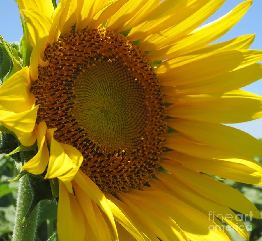 Sunflower Photograph - Sunflower by Lne Kirkes