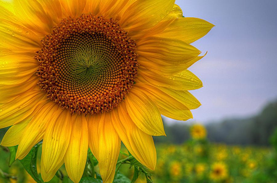 Sunflower by Michael Donahue