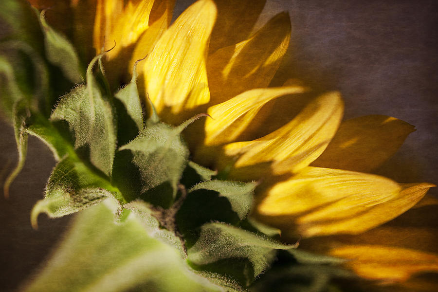 Sunflower by Michael Yeager
