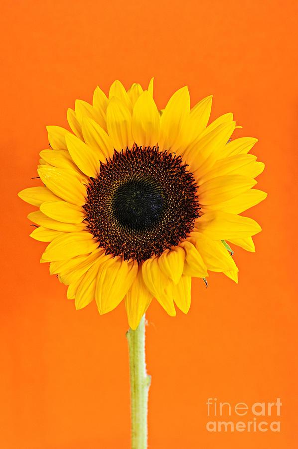 Sunflower Photograph - Sunflower On Orange by Elena Elisseeva