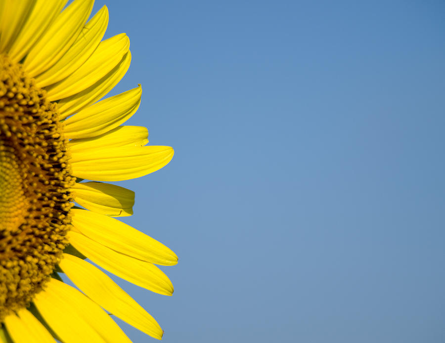 Sunflower Photograph - Sunflower by Paige Sims