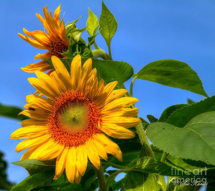 Foliage Photograph - Sunflower Pair by Sue Karski