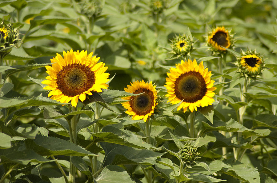 Sunflower Photograph - Sunflower Patch by Bill Cannon
