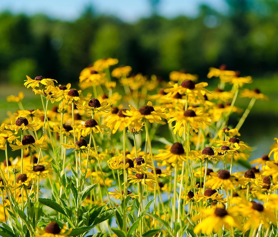 Flowers Photograph - Sunflower Patch by John Ullrick