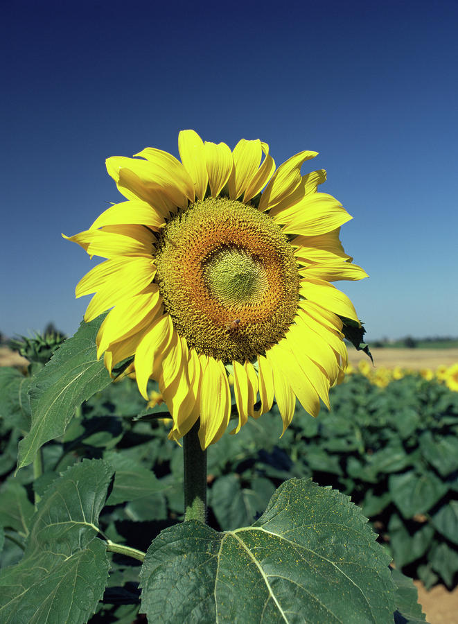 Helianthus Annuus Photograph - Sunflower by Paul Harcourt Davies/science Photo Library