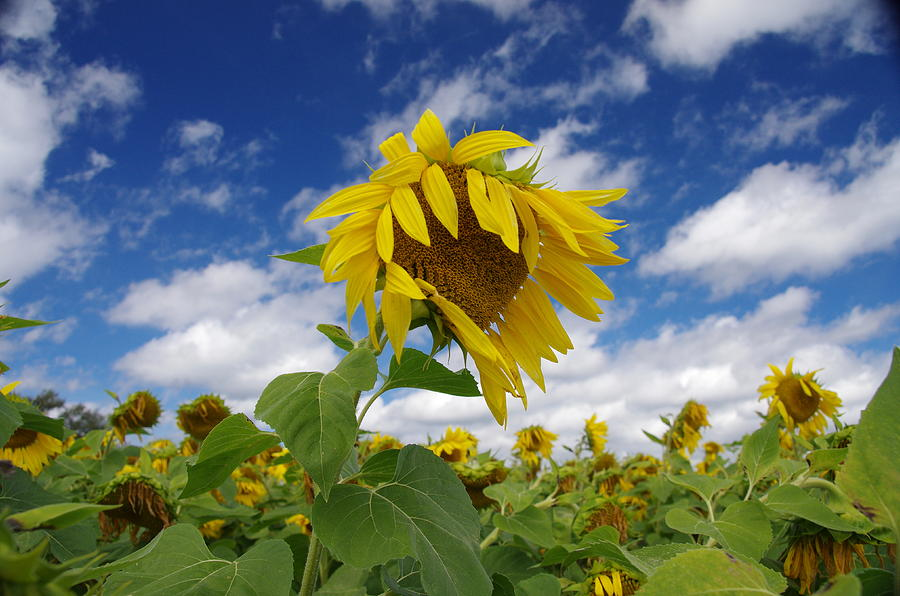 Flowers Photograph - Sunflower by Philip Derrico