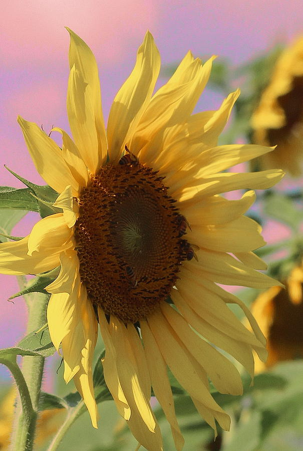 Sunflower Photograph - Sunflower Pop by Cathy Lindsey